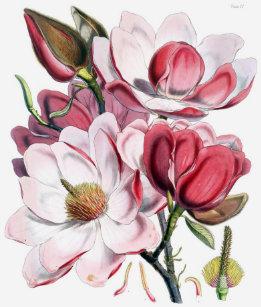 Magnolia Flower T Shirts Shirt Designs Zazzle Uk