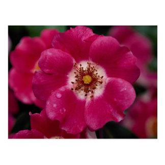 Pink Meidiland (tm) Shrub Rose 'Meipoque' Roses Postcard