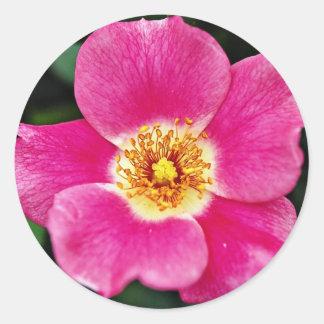 Pink Meidiland (tm) Shrub Rose 'Meipoque' White fl Round Sticker