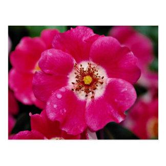 Pink Meidiland (tm) Shrub Rose 'Meipoque' Yellow f Postcard