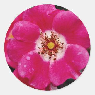Pink Meidiland (tm) Shrub Rose 'Meipoque' Yellow f Round Sticker