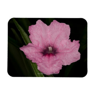 Pink Mexican Petunia  (Ruellia Brittoniana or Magnet