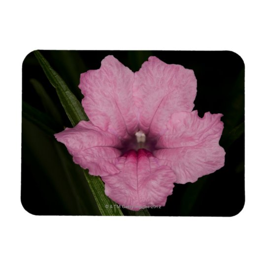 Pink Mexican Petunia  (Ruellia Brittoniana or Rectangular Photo Magnet
