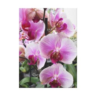 Pink Moth Orchids Canvas Print