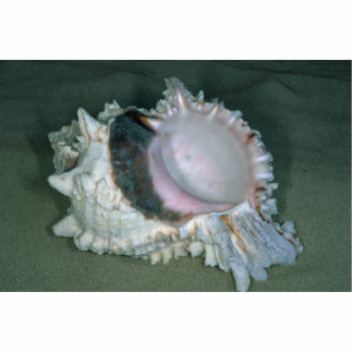 Pink murex (Murex erythrostomus) Shell Acrylic Cut Outs