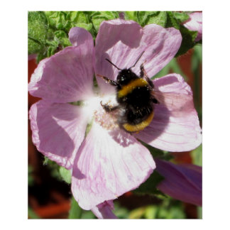 Pink Musk Mallow Flower and bee collecting pollen Poster