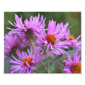 Pink New England Asters 10x8 Macro Flowers Photo Print