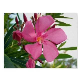 Pink Oleander Photo Posters