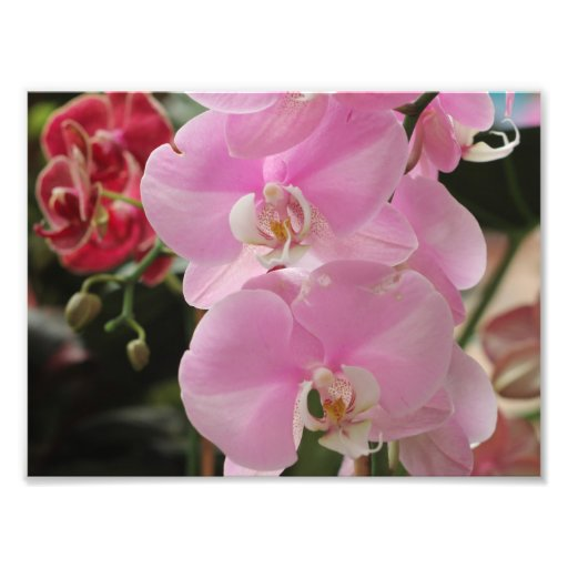 Pink Orchid blooms Photograph