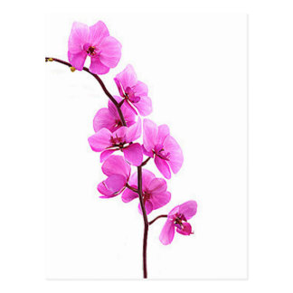 """Pink orchid"" Postcard"