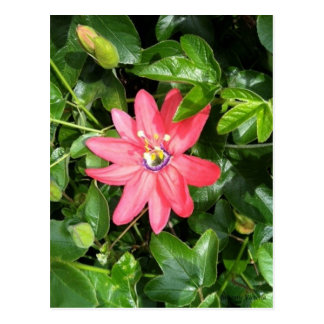 Pink Passion Flower Postcard