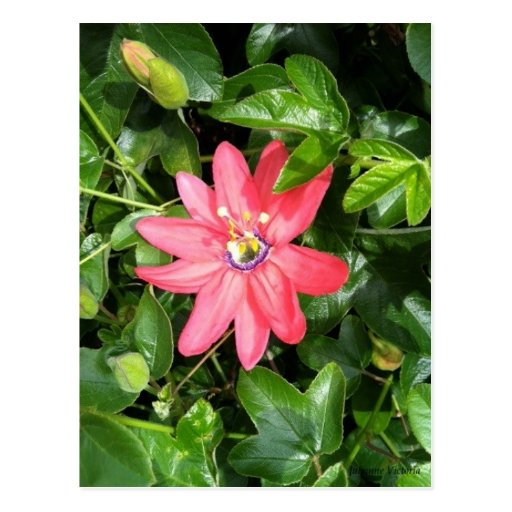 Pink Passion Flower Post Cards