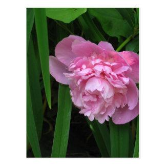 Pink Peony Blossom - Photograph Postcard