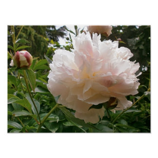 Pink Peony Blossom. Poster