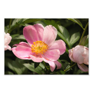 Pink Peony Flower Fully Open Photo Print