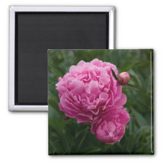 Pink Peony | Rosa Pfingstrose Square Magnet