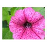 Pink Petunia Flower Postcard