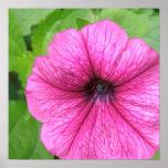 Pink Petunia Flower Poster