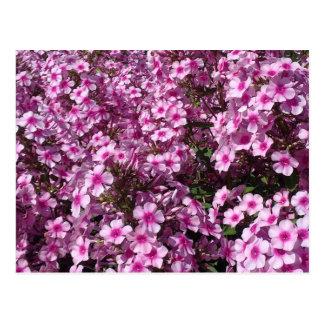Pink Phlox Postcard