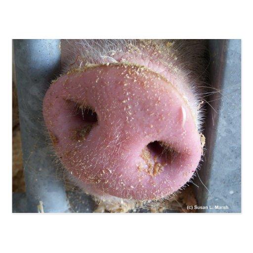 Pink Pig nose close up photograph Post Card