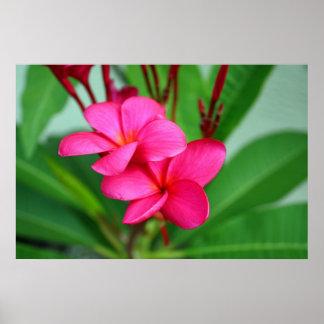 Pink Plumeria Frangipani Hawaiian Flower Poster