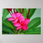 Pink Plumeria Frangipani Hawaiian Flower Posters