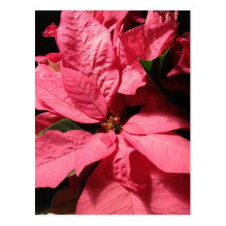 Pink Poinsettia Christmas Flowers Postcard