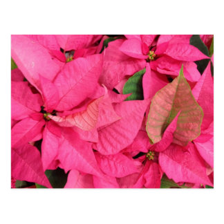 Pink Poinsettia Christmas Flowers Post Cards