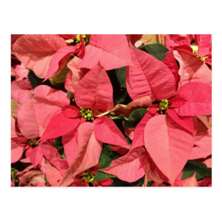Pink Poinsettia Christmas Flowers Postcards