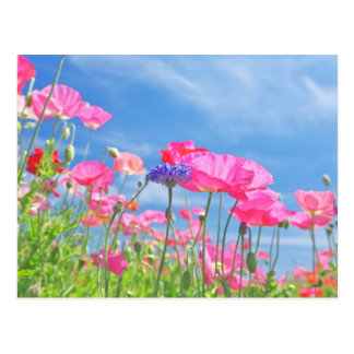 Pink Poppies and Blue Sky 2 Postcard