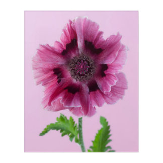 Pink Poppies Flower Nature Spring Acrylic Wall Art