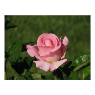 Pink Promise Hybrid Tea Rose 132 Posters