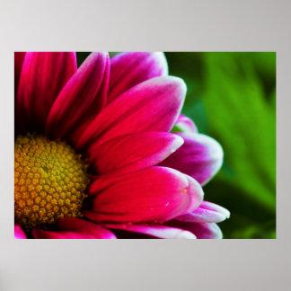 Pink Purple Chrysanthemum Flower Poster