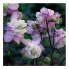 Pink Purple Columbine flowers Poster