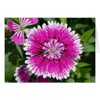 Pink/Purple Dianthus carnation up close Card
