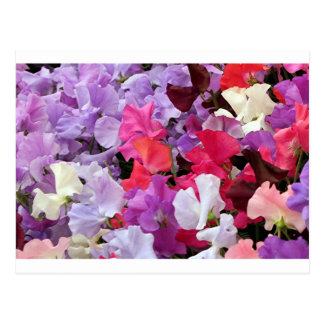Pink, purple & white Sweet pea flowers in bloom Postcard
