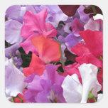 Pink, purple & white Sweet pea flowers in bloom Square Sticker