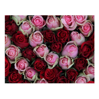 pink & red roses by Therosegarden Postcard