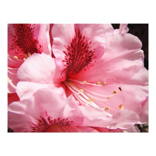 Pink Rhododendron Flowers Custom Flyers paper