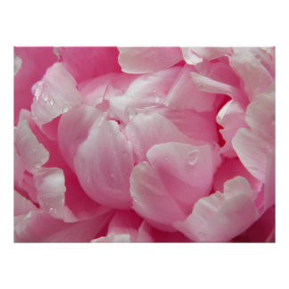 Pink romance blooming peony flower with dew drops poster