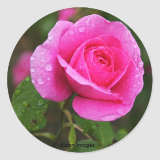 Pink Rose and Dew Drops Classic Round Sticker
