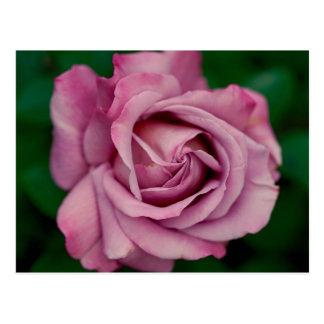 Pink rose blossom postcard