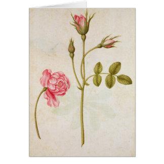 Pink Rose, c.1568 Card
