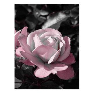 Pink Rose Garden Postcard