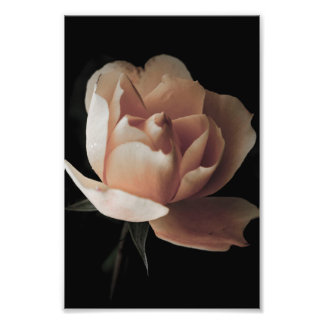 Pink rose in the darkness photo print