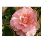 "Pink rose ""Jenny"" Post Cards"