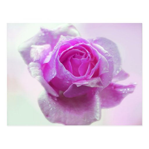 Pink Rose of love Postcard