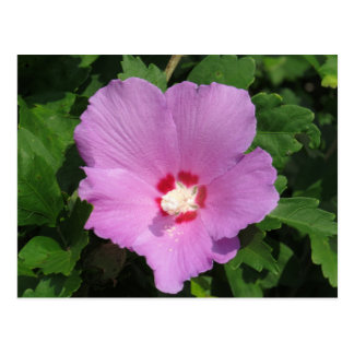 Pink Rose Of Sharon Flower Postcard