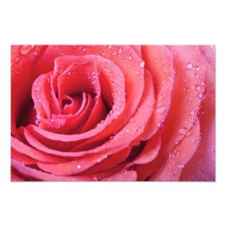 Pink Rose Petals With Water Drops Macro Shot Photograph
