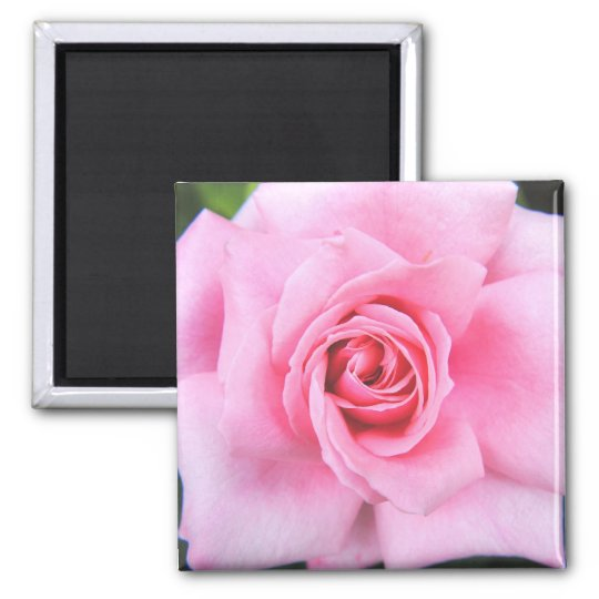 Pink Rose Photograph  Magnet